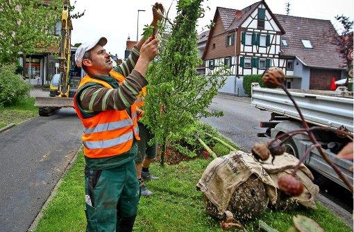 Straßenbäume  leben im Dauerstress