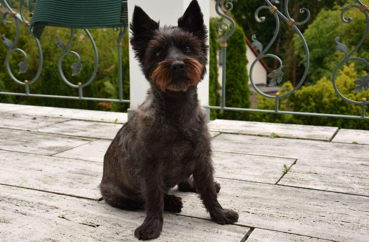 Der Terrier Nicki ist in Böblingen zuhause und sucht Tierfreunde, die ihn regelmäßig ausführen Foto: Silberpfoten