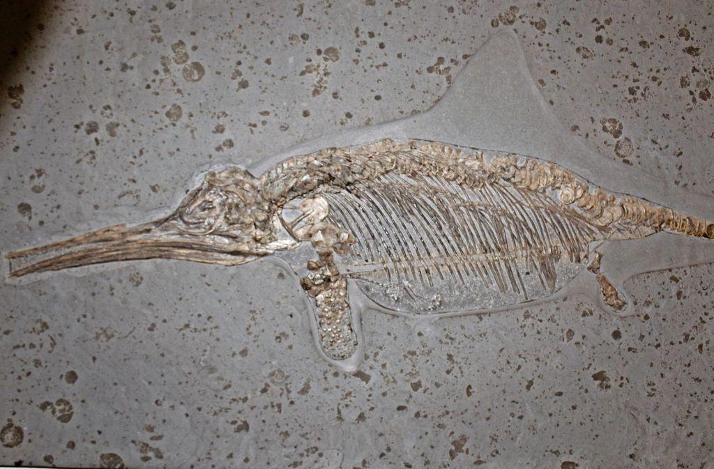Aus der Jurazeit gibt es viele gut erhaltene Fossilien –  auch von Ichthyosauriern. Foto: