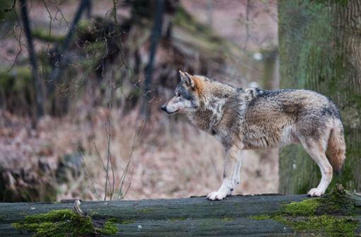 Überfahrener Wolf stammt aus hessischem Wildpark