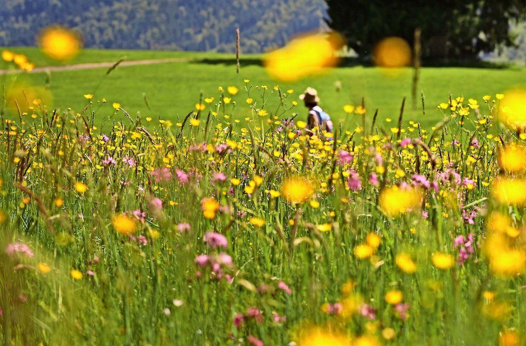 So ein dichter Blütenflor ist längst nicht mehr auf allen Wiesen zu bewundern. Und wo die Blüten fehlen, verhungern die Insekten, beklagen Umweltschützer. Foto: dpa