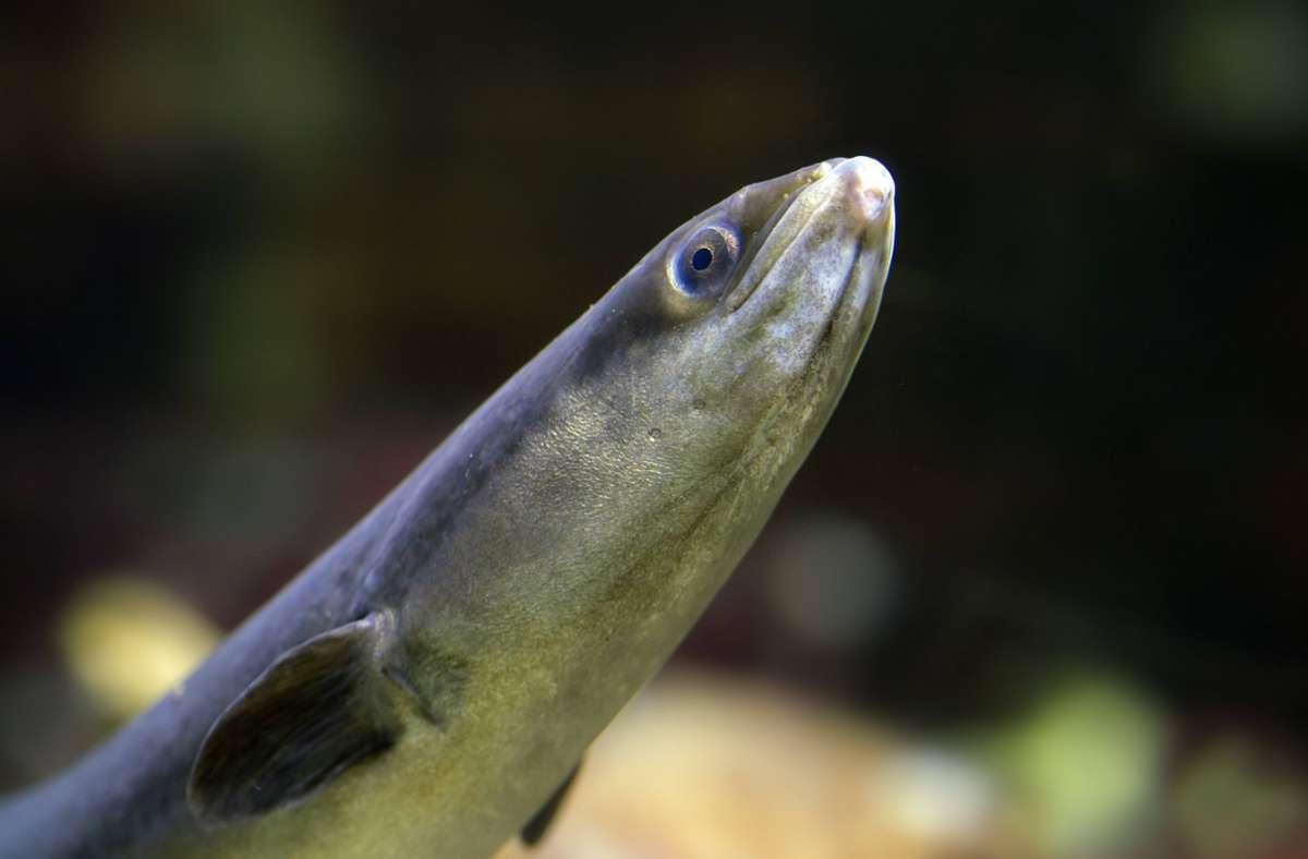 In Badeseen kann man unter anderem auf Aale  stoßen: Sie sind vor allem in Seen in der Nähe von Flussmündungen zu finden. Aale sind nachtaktiv und leben tagsüber unter Steinen, in Spalten oder im Schlamm auf dem Grund der Gewässer. Foto: imago images/alimdi/Arterra/Sven-Erik