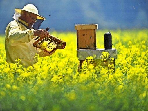 Ein moderner Imker prüft seinen Bienenstock im Rapsfeld. Foto: dpa