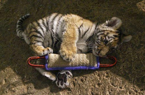 Kleiner Tiger bekommt Extrabehandlung