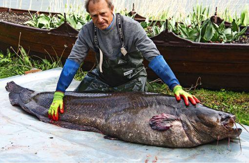 Fischer fängt Riesen-Wels