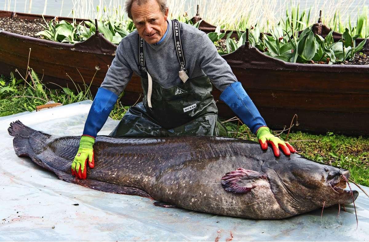 Dem Reichenauer Fischer Berno Spicker ist ein kapitales Welsweibchen ins Netz gegangen. Foto: Wilfried Deggelmann