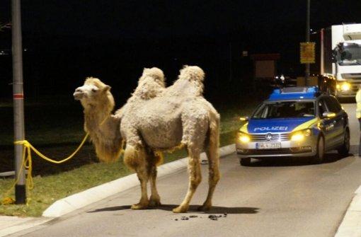 Kamel, Stier und Flamingo auf Abwegen