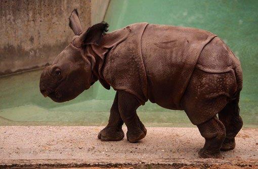Mini-Rhino schnuppert frische Luft