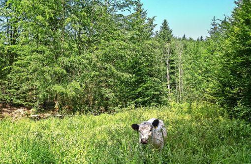 Wuschelige  Rinder weiden im Wald