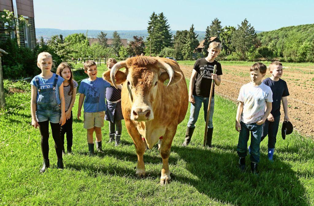 Limpurger Rinder gehören zu den alten Rassen, die heute vom Aussterben bedroht sind. Für die Massentierhaltung produzieren sie zu wenig Mich. Der Schulbauernhof hat es sich auch zur Aufgabe gemacht, solche Tiere zu erhalten. Foto: factum/Bach