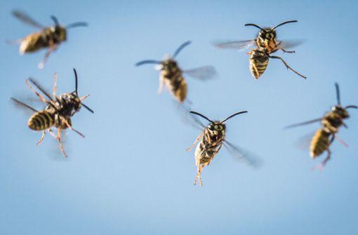 Wespen zwingen Flüchtenden in die Knie