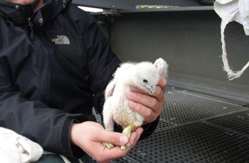 Wanderfalkenbabys gedeihen trotz Lasergewitter