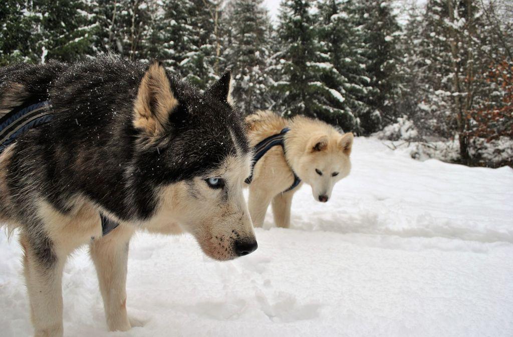 Mit Huskys kann man gut im Wald wandern gehen. Foto: Frühauf