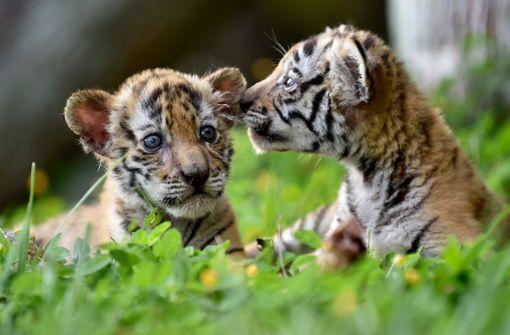 Was diese Tigerbabys mit Pablo Escobar verbindet