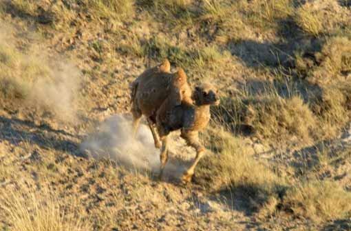 Die letzten Kamele gehen auf Sendung
