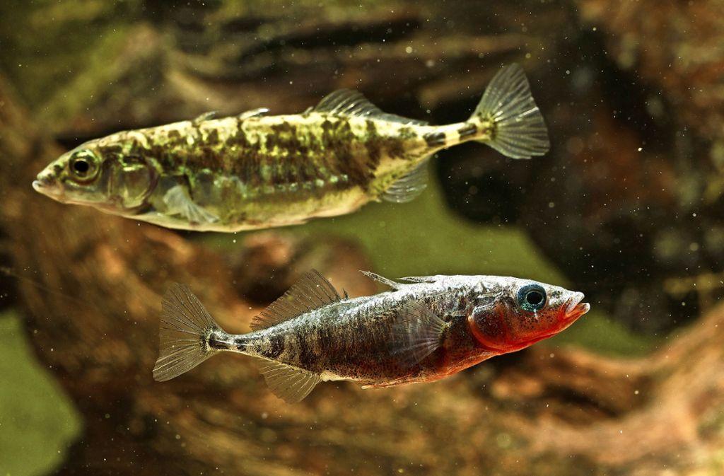 Ein Paar des Dreistachligen Stichlings: oben das größere Weibchen, unten das kleinere Männchen, das im vorderen Bereich zur Laichzeit rot gefärbt ist. Foto: Hartl