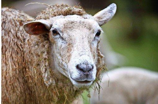 Krippen-Casting bei den Schafen