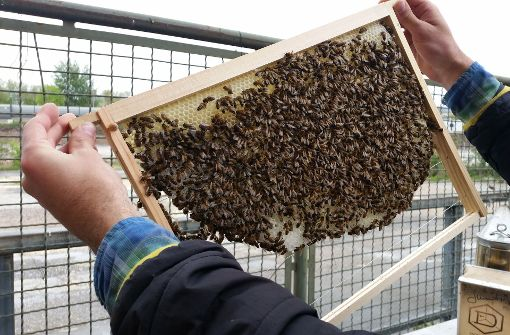 Bienen fühlen sich in der Stadt wohl