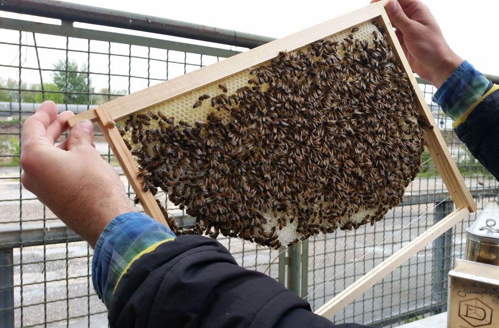 Bienen bei der Kulturinsel Foto: Nina Ayerle