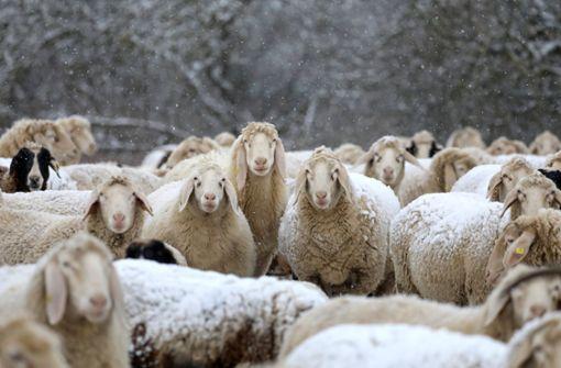 Viehdieb stiehlt mindestens 30 Schafe – Schuppen als Schlachthaus