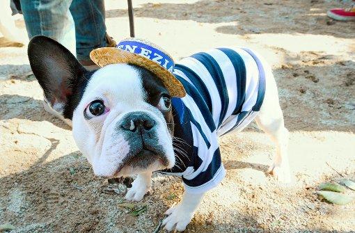 Eine Bulldogge als Gondoliere