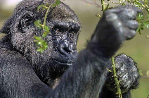 Gorillamädchen zieht nach Dänemark