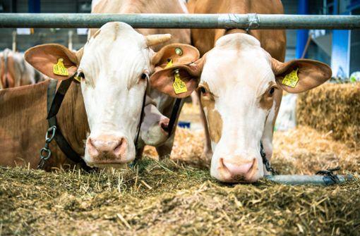 Schultern, Beine, Bauch: Deutschland sucht seine schönste Kuh