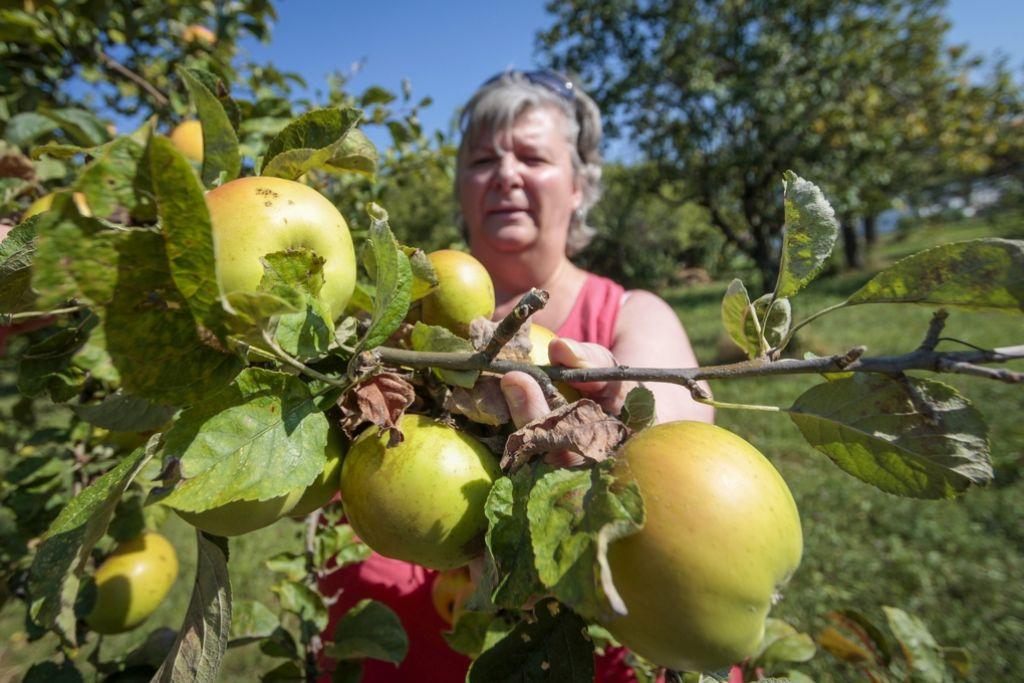 Lucetta Amos sorgt dafür, dass Kinder die Äpfel  von pratzelvollen Bäumen  auflesen – mehrere Ziele werden so erreicht. Foto: factum/Granville