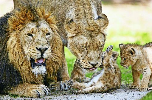 Der Löwe feiert sein Comeback
