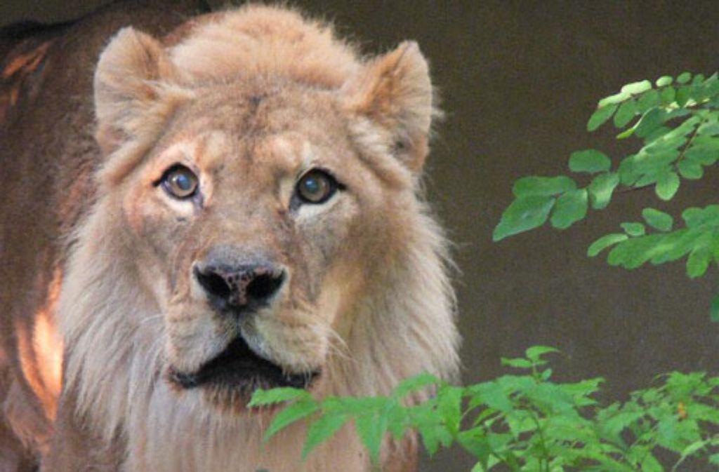 Die Zeit der Stuttgarter Löwen ist schon länger vorbei. Seit 1994 lebten die drei Berberlöwen Atlas, Schiela und Elektra im botanisch-zoologischen Garten. Im Jahr 2003 musste Löwe Atlas eingeschläfert werden, im Mai 2008 folgte ihm die an Altersschwäche leidende Schiela. Ihre 23-jährige Schwester Elektra (Foto) wurde nur wenige Wochen später von einem Tierarzt von ihren altersbedingten Leiden erlöst. In der Natur sind Berberlöwen schon seit Jahren ausgerottet, ob es in Zukunft wieder ein Löwenrudel in der Wilhelma geben wird, steht in den Sternen. Foto: Leserfotograf freudestrahl