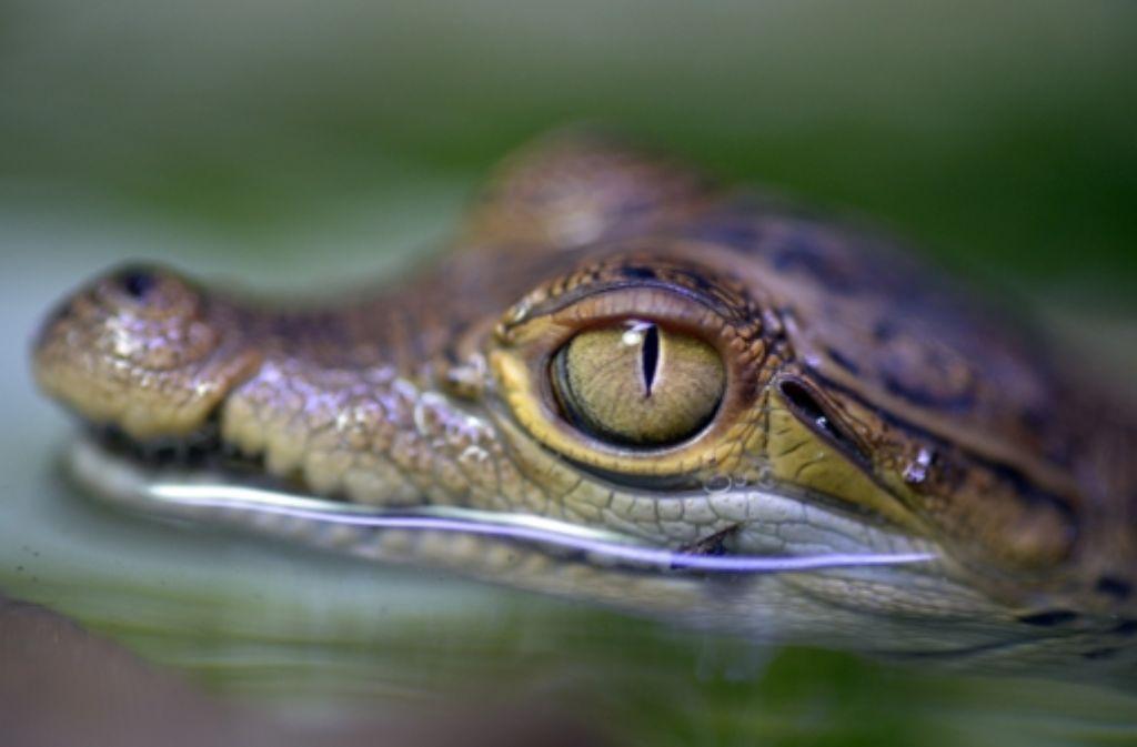 """1994 sorgte ein Krokodil in Dormagen für Aufsehen. In einem Baggersee büxte Kaiman """"Sammy"""" seinem Besitzer aus. Schnell machte das Gerücht eines Riesen-Krokodils im See die Runde. """"Sammy"""" konnte letztendlich wieder eingefangen werden. Foto: dpa"""