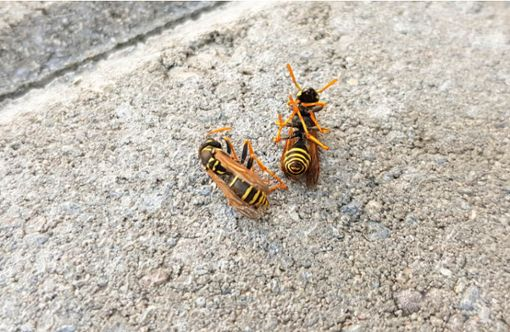 Vorschaubild zum Artikel Wann sterben Wespen?