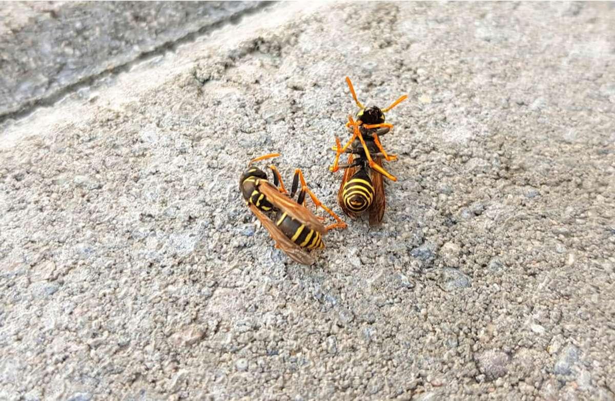 So endet das Leben der Wespen. Foto: Twin-girl / shutterstock.com