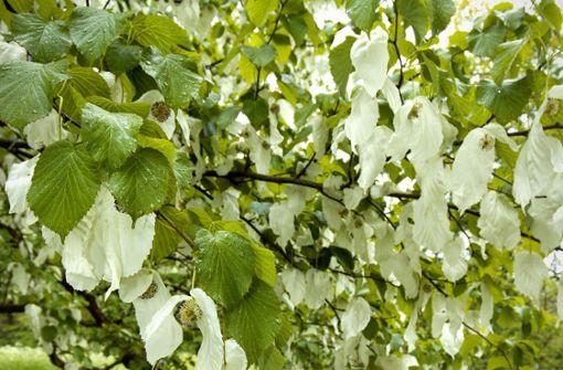 Warum ein Baum  Taschentücher braucht