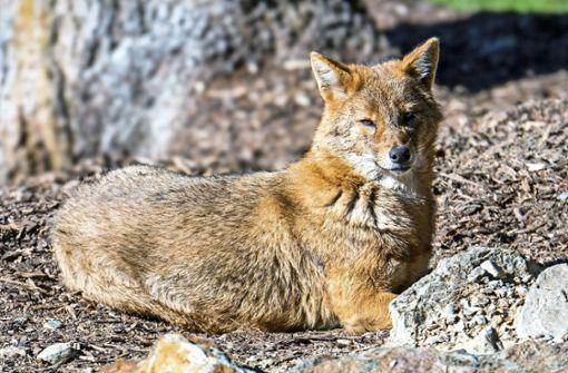 Verdrängt der Goldschakal den Fuchs?