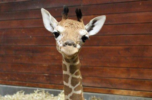 Sturzgeburt eines Giraffenbabys