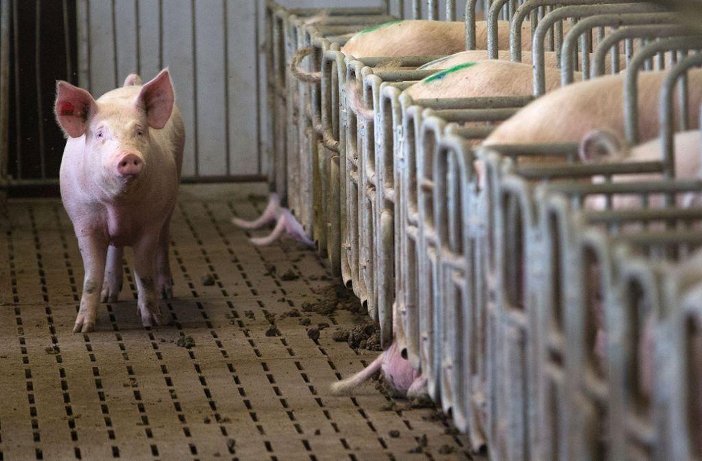 Eine Zuchtsau steht  in einem Schweinemastbetrieb vor ihrer Box. (Symbolbild) Foto: dpa/Axel Heimken