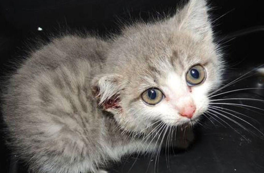 Das circa vier Wochen alte Katzenbaby hat einen Schnitt am  Ohr. Foto: Tierheim/ Stuttgart
