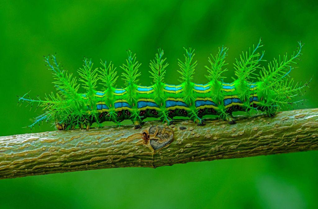 Auch als Raupe schon eine Schönheit: im Nationalpark Serra das Confusões ist die Chance groß, bisher unbekannte Tierarten zu entdecken. Foto: Andre Pessoa
