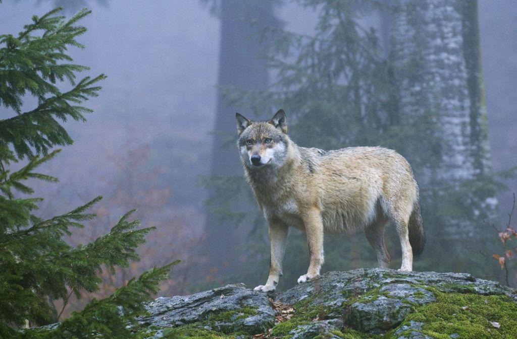 Jetzt ist es amtlich: Bei Korntal-Münchingen wurde ein Wolf gesehen. Foto: epd