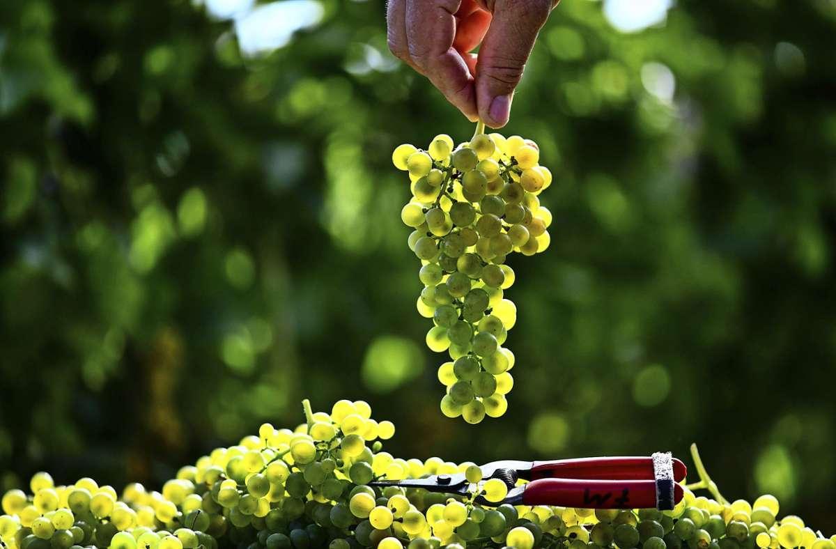 Solaris ist eine pilzresistente Rebsorte, die im speziellen Fall einen sehr guten Wein ergibt. Foto: dpa/Patrick Seeger