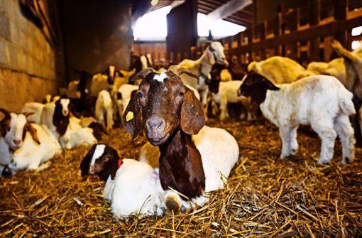 Schafe und Ziegen schützen die Heide