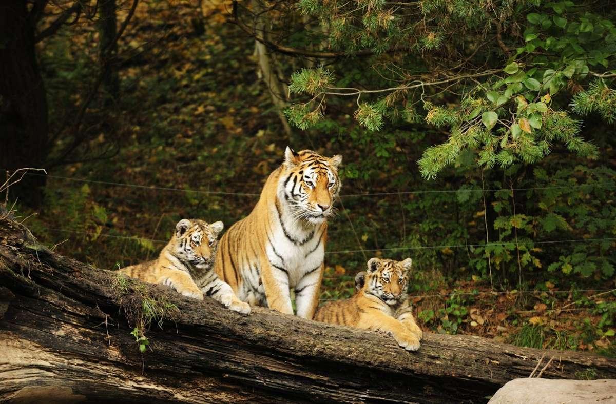 Sind sind eine Attraktion: Ein sibirische Tiger mit zwei Jungen im Züricher Zoo. Foto: imago stock&people/imago stock&people
