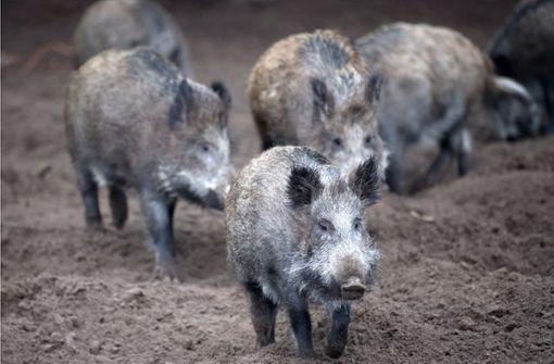 Wildschweine sorgen für Verkehrschaos