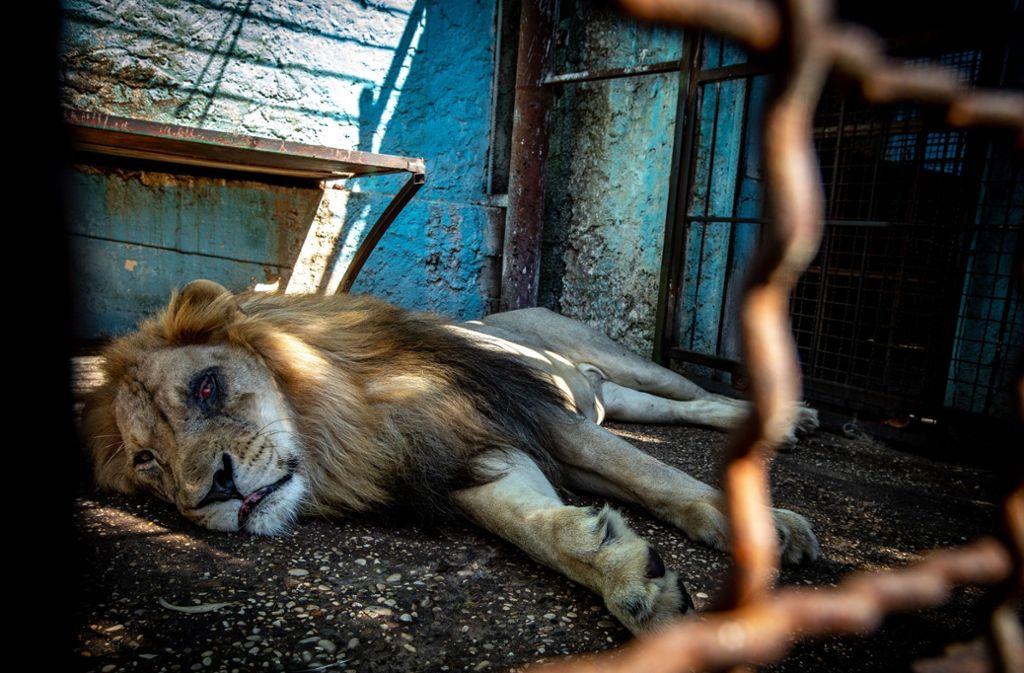 Löwe Lenci leidet an einer schweren Augeninfektion. Foto: David Wilson/Vier Pfoten