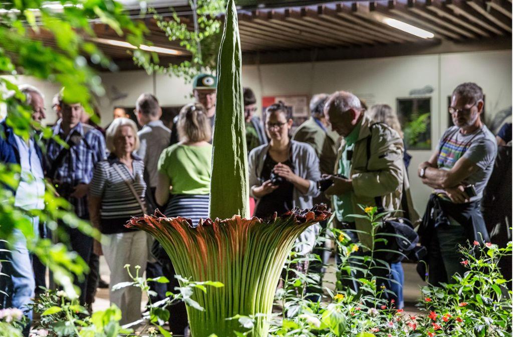 Am Sonntagabend zeigte Titanwurz Brunhilde ihre volle Blüte. Foto: Lichtgut/Julian Rettig