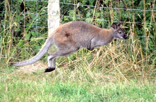 Skippy das Känguru hüpft durch das Sauerland. Foto: Waldeckische Landeszeitung/dpa