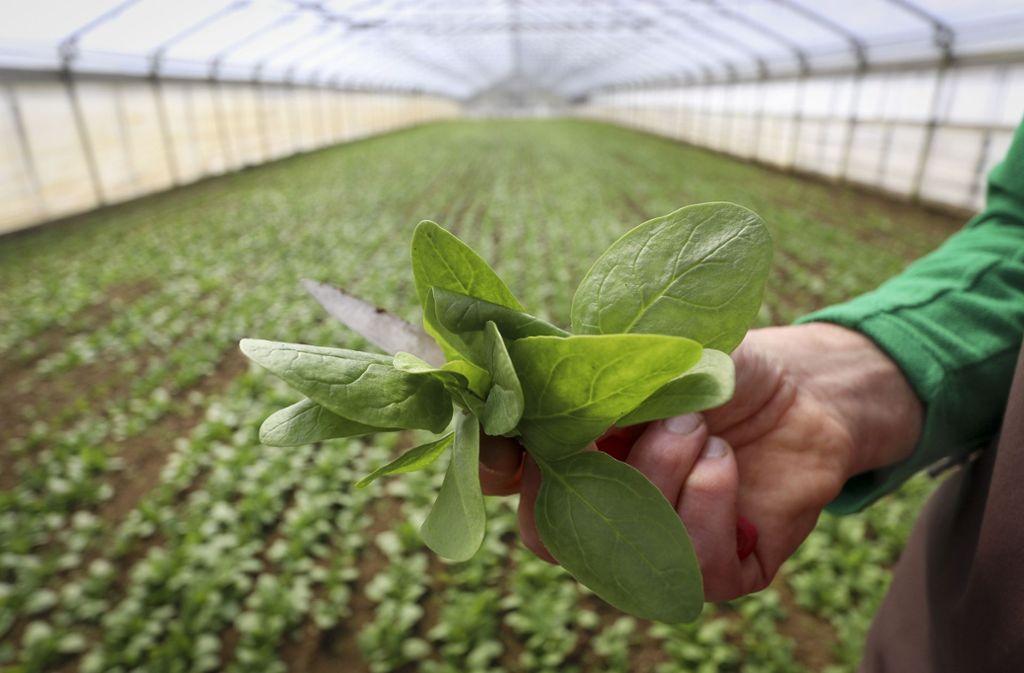 Spinat ist ein guter Lieferant für Vitamine und Eisen. Mehr Infos finden Sie in der Bildergalerie. Foto: factum/Granville