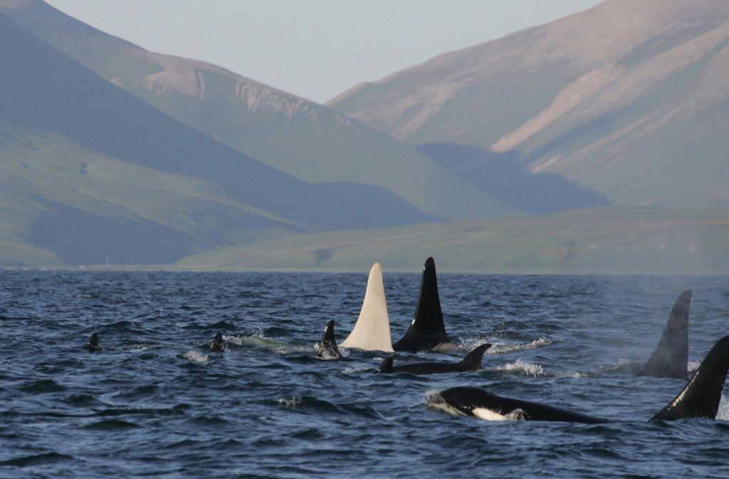 Das undatierte Handout-Foto zeigt einen weißen, «Iceberg» getauften Schwertwal (Orcinus orca) in einer Herde weiterer Orcas in russischen Gewässern. Foto: Far East Russia Orca Project/dpa