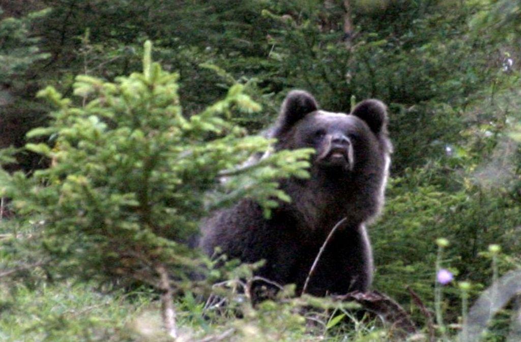 Einem Braunbären wie ihm ging es 2006 an den Kragen. Foto: dpa